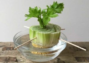 Celery, Edibles, Growing Indoor Plants, Style Degree, Singapore, SG, StyleMag