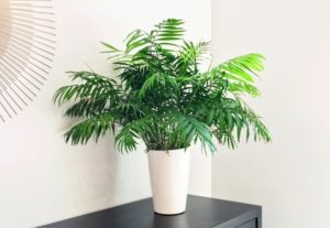 Parlor Palm, Air Purifying, Low Maintenance, Growing Indoor Plants, Style Degree, Singapore, SG, StyleMag