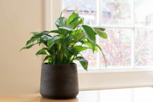 Household plants to remove VOCs, how to get rid of toxic fumes, how to remove new apartment smell, formaldehyde removal, Style Degree, Singapore, SG, StyleMag.